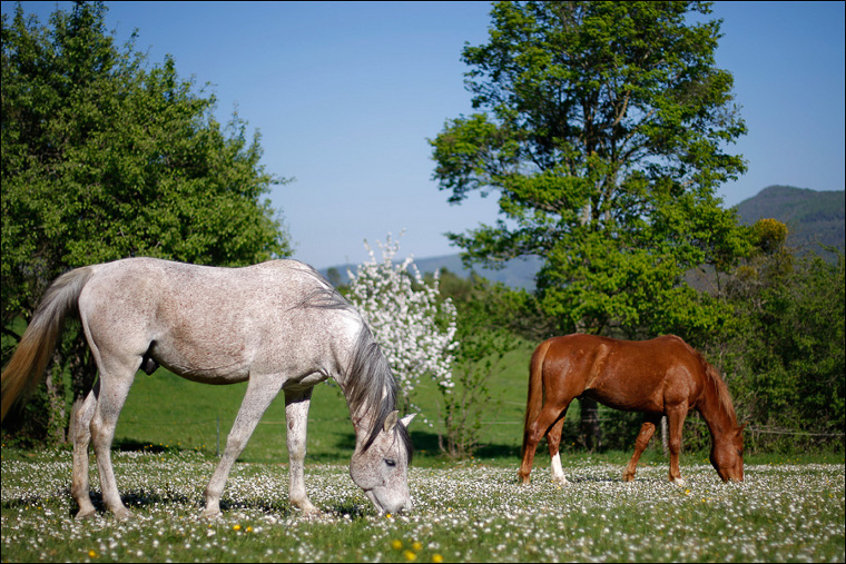 The horses in a field full of flowers at Lavaldieu